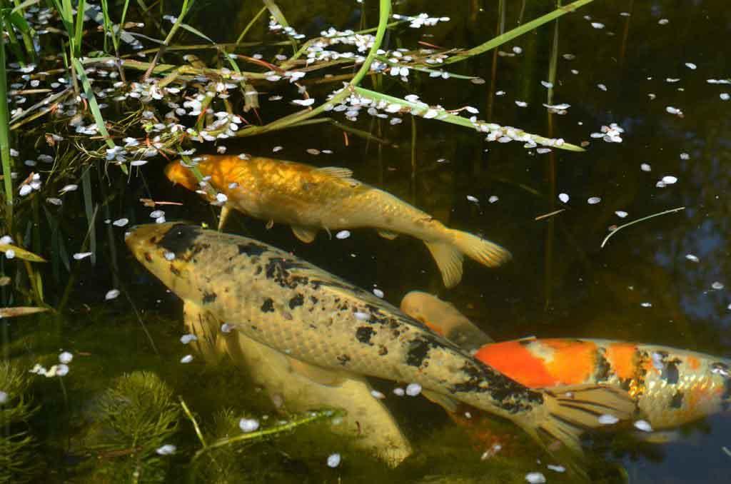 Kescher für den Teich - Gartenteich